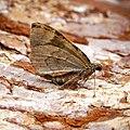 (1764) Common Marbled Carpet (Dysstroma truncata) (28575882001).jpg