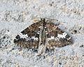 (1803) Small Rivulet (Perizoma alchemillata) - Flickr - Bennyboymothman.jpg