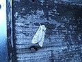 (2237) Grey Shoulder-knot (Lithophane ornitopus) (3347023002).jpg