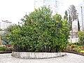 «Дерево дружбы» с прививками, сделанными гостями СССР, улица Фабрициуса, 2, Сочи.jpg