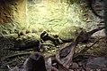 Żabuti leśny (3).jpg