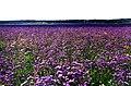 Аспект квітучого кермеку у галофільній сазі біля Булахівського лиману.jpg