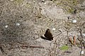 Вепрове Сонцевик павиче око DSC 0538.jpg