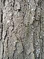 Гимнокладус - кора 2.JPG