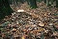 Гриб-зонтик великий Macrolepiota procera Гриб-зонтик червоніючий Chlorophyllum rhacodes 01.jpg