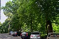 Дуби Петра Могили DSC 0547.jpg