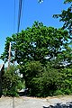 Дуб Янати DSC 0935.jpg