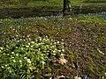 Первоцветы ботанического сада.jpg