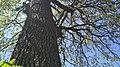 Стовбур дуба Черещатого.jpg