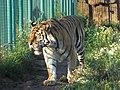 Тигр в Ижевском зоопарке.jpg