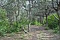 Хвойна лісопосадка. Ділянка «Пчьолкінські закам'янілі дерева».jpg