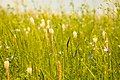 Цветущее поле Ботанического сада ЮФУ г. Ростов-на-Дону.jpg
