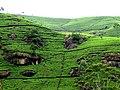 Чайные плантации высокогорья - panoramio.jpg