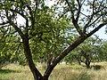 Яблоневый сад - panoramio (14).jpg