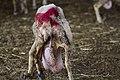 כבשה קורסת ממשק חלב.jpg