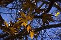 برگ زرد-پاییز-yellow leaves-falling leaves 04.jpg