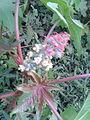 ஆமணக்கு 1( Ricinus communis).jpg