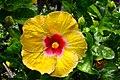 ชบา Hibiscus rosa-sinensis L. Photographs by Peak Hora (10).jpg