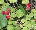 ナワシロイチゴ Rubus parvifolius.JPG