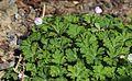 ニリンソウ Anemone flaccida s13.jpg