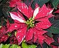 一品紅 Euphorbia pulcherrima 'Shimmer Surprise' -香港動植物公園 Hong Kong Botanical Garden- (16110471145).jpg