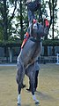 京都競馬場の馬事アトラクション「ロングレーン」で披露されたクールベット(2015年10月25日).JPG