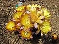 仙人掌-黒斜子 Reicheocactus pseudoreicheanus (Echinopsis famatimensis) -日本大阪鮮花競放館 Osaka Sakuya Konohana Kan, Japan- (40360118800).jpg