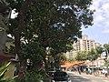 八德三元宮老樹.jpg