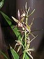 墨蘭水晶藝 Cymbidium sinense Crystalline-series -香港沙田國蘭展 Shatin Orchid Show, Hong Kong- (9255177246).jpg