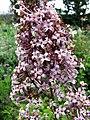 小葉丁香 Syringa microphylla -維也納高山植物園 Belvedere Alpine Garden, Vienna- (28973652070).jpg