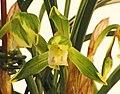 日本春蘭天草 Cymbidium goeringii -台南國際蘭展 Taiwan International Orchid Show- (40858647521).jpg