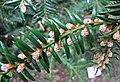 日本榧樹 Torreya nucifera -比利時 Ghent University Botanical Garden, Belgium- (9259215219).jpg