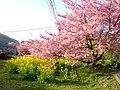 河津桜 - panoramio.jpg