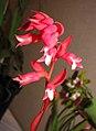 石斛蘭屬 Dendrobium lawesii -香港沙田洋蘭展 Shatin Orchid Show, Hong Kong- (9207604574).jpg