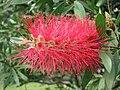 紅千層屬 Callistemon formosus -香港公園 Hong Kong Park- (9207605240).jpg