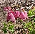 美麗荷包牡丹 Dicentra formosa -比利時國家植物園 Belgium National Botanic Garden- (9190626653).jpg