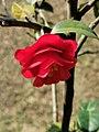 茶花-松子 Camellia japonica 'Songzi'(Pine Cone)20210214180451 11.jpg