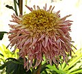 菊花-紫托桂 Chrysanthemum morifolium 'Purple Cradling Stamens' -香港圓玄學院 Hong Kong Yuen Yuen Institute- (12049307945).jpg