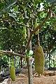 菠萝蜜 - panoramio.jpg