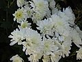 -2020-11-15 White Chrysanthemum, Trimingham.JPG