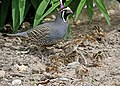 069 - CALIFORNIA QUAIL (6-22-06) with young, canet rd, sloco, ca (8718698363).jpg