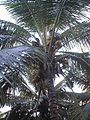 06 Man Gathering Coconuts (January 2 2001).jpg