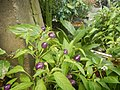 0998Ornamental plants in the Philippines 30.jpg