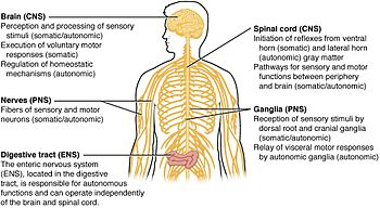 central nervous system - wikipedia, Cephalic Vein