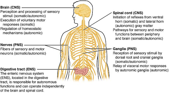 Central nervous system wikiwand a map over the different structures of the nervous systems in the body showing the ccuart Image collections