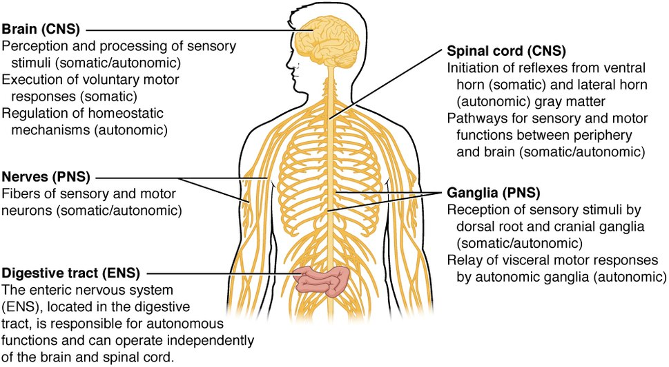 1205 Somatic Autonomic Enteric StructuresN