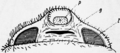 1911 Britannica-Arachnida-Liphistius desultor4.png