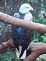 2008-05-25 Pittsburgh 063 Aviary, Bald Eagle (2669676938).jpg