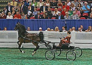 Fine harness - Women drivers may opt to wear a formal gown.  Breaking out of a trot into a canter is penalized