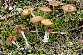 2012-12-05 Psilocybe cyanescens Wakef 290262.jpg